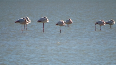The Flamingos by the Salinas